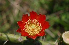 Flor de nopal lista para ser polinizada