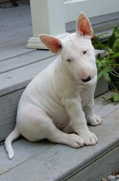Bull terrier via @KaufmannsPuppy