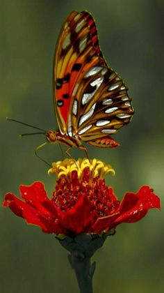 Nature - title Zinnia flower and butterfly. - by photographer Sandra Garip
