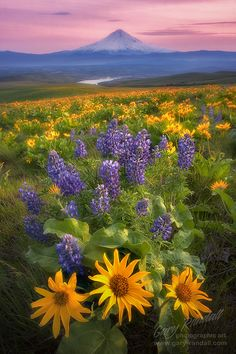Balsamroot and lupine at Dalles Mountain Ranch, Columbia Hills, Washington with Mount Hood in the distance, Washington, USA