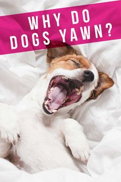why do dogs yawn Fun Facts About Dogs, Dog Facts, Dog Yawning, Animal Cognition, Insulated Dog House, Make Dog Food, Dog Training Techniques, Puppy Face, Dog Quotes