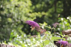 Butterflies and Bees in the Gardens & Grounds of Herstmonceux Castle