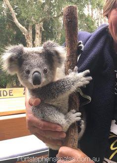 (disambiguation) A koala is a marsupial native to Australia. Koala or KOALA may also refer to: Cute Little Animals, Cute Funny Animals, Cute Dogs, Cute Babies, Top 10 Cutest Animals, Cute Wild Animals, Funny Cats, Baby Animals Pictures, Cute Animal Photos