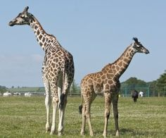 Fota Wildlife Park is a great fun day out in Cork, in the south of Ireland. It is a zoo but the enclosure - Please Like & Share Fun Days Out, Family Days Out, Stuff To Do, Things To Do, Wildlife Park, Cork, Giraffe, Space, Summer