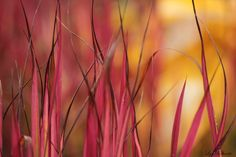 Beauty in leaves2 - Imperata cylindrica 'Red baron'