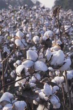 How to Grow Cotton Indoors Seeds Plants and Cotton