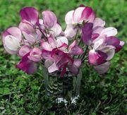 Lathyrus odoratus 'Lavender Bridesmaid'