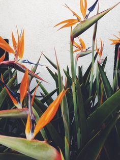 this plant is so gorgeous. Birds of paradise.