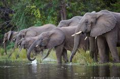 A family of elephants drinking from the Zambezi river, photographed from a canoe. Lower Zambezi National Park, Zambia.