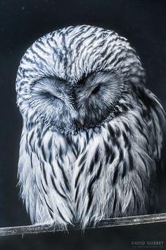 Sleeping owl by David Guéret on 500px
