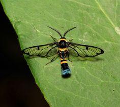 arctiid wasp moth (arctiinae,erebidae )