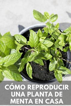 Cómo reproducir una planta de menta en casa. Witch Garden, Gardening For Kids, Plant Care, Plant Lady, Propagating Plants, Herb Garden, Plants, Herbs, Vegetable Garden