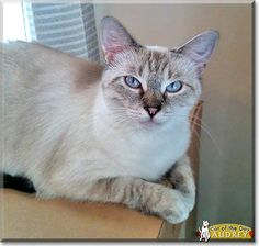 Read Audrey's story the Siamese, Tabby mix from Buena Vista, Virginia and see her photos at Cat of the Day http://CatoftheDay.com/archive/2014/March/26.html .