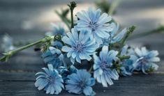 Čekanka je ceněná léčivá bylina. Nejúčinnější částí je kořen, nasbírejte si ho ještě dřív, než přijdou přízemní mrazíky. Poradíme, co pak sním. Korn, Health, Flowers, Plants, Chemistry, Health Care, Plant, Royal Icing Flowers, Flower