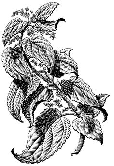 Scratch board illustrations of plants. The style is similar to a woodcut or engraving.