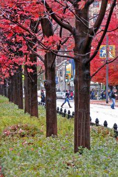 Autumn blaze maple trees line the center of Milwaukee's Wisconsin Avenue at Marquette University.