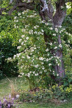 Honungsros 'Hybrida'   Honungsrosen blommar i juli månad med gula till crèmevita blommor med gul mitt. Doften är stark och söt. Den är anspråkslös vad gäller jord och läge och den håller sig frisk i bladverket. Får vackra nypon på hösten. Starkväxande blir 5-6 m med årsskott på 3–4 meter är vanligt. Härdig i zon 1-4.