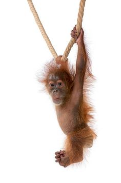 Image result for orangutan hanging