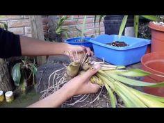 Abono casero para la floración de orquídeas - Alto en Potasio    Orquiplanet - YouTube