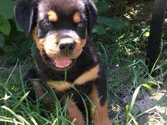 2 months rottweiler puppy #enzo
