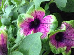 Our Okanagan immigrant petunias look much happier in Calgary. A new 2012 discovery and a must have for our yard!
