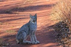 lynx sitting on country road Photo by Christine Johnston -- National Geographic Your Shot