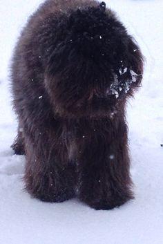 Bouvier des Flandres snow beast :)