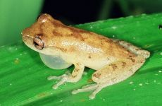 PEREREQUINHA-DA-RESTINGA Dendropsophus berthalutzae Instituto Rã-bugio para Conservação da Biodiversidade
