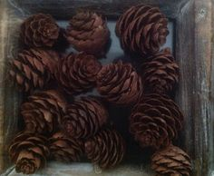 Collection of 100 Natures Tiny Larch Cones -  Forest Treasures - Holiday Pine Cones Wedding Pine Cones Craft Cones