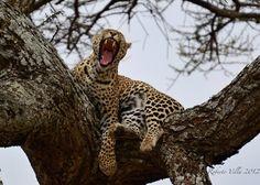 Leopard - Serengeti NP - Tanzania