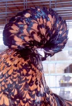 Golden Lace Polish Chicken - ooohhh I want some pretty chickens