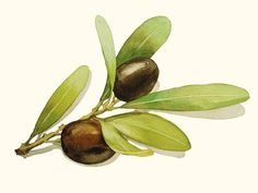 Watercolor Painting - Olives Painting - Watercolor Olives -  5 by 7 print - Archival Print, Minimalist, Home Decor, Garden Art