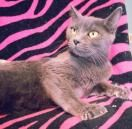 Halo 21476 is a female DSH who is 2 yrs. old. She was brought to the shelter with her 4 kittens. She's very sweet & affectionate. She's available  for adoption  at Prattville/Autauga Humane  Society, Prattville, Al.