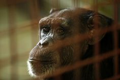 Fish and Wildlife Services proposes endangered listing for chimpanzees