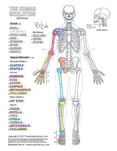 Learn anatomy as you browse our collection of colorful, large and clearly labeled human body diagrams. For teachers, students, health professionals, or anyone interested in learning about the anatomy of the human body. Human Skeleton Anatomy, Human Anatomy Drawing, Human Body Anatomy, Human Anatomy And Physiology, Human Body Nervous System, Human Body Diagram, Anatomy Bones, Anatomy Coloring Book, Coloring Sheets