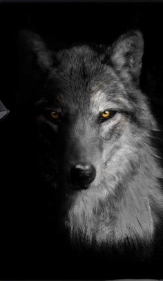 The Hustlrs is dedicated to help people in their way to Achieve Big in Life. It aims at providing you the best content that help you to transform your life. Wolf Images, Wolf Photos, Wolf Pictures, Wolf Wallpaper, Animal Wallpaper, Amazing Animals, Animals Beautiful, Alpha Wolf, Alpha Alpha