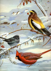 Evening Grosbeack, Slate-colored Junco, Cardinal - Walter A. Weber bird illustration