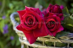One of the most sought after red rose varieties, this tough and reliable plant features large full cupped blooms in dark red that fade to a dark purple hue, has...