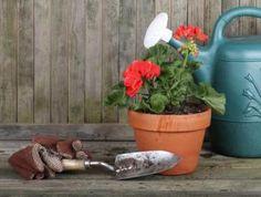 Krásné mladé rostliny muškátu, již kvetoucí Garden Trowel, Garden Tools, Pesto, Planter Pots, Yard Tools, Outdoor Power Equipment, Plant Pots