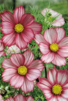 Cosmos, delicate, lovely, and in temperate climates, they reseed for the following season.