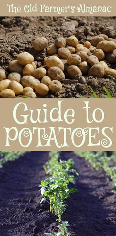 Perennial Flower Gardening - 5 Methods For A Great Backyard The Complete Old Farmer's Almanac Guide To Potatoes: How To Plant, Grow, Cultivate, And Harvest Potatoes. Potato Gardening, Indoor Vegetable Gardening, Organic Gardening Tips, Container Gardening, Kitchen Gardening, Flower Gardening, When To Plant Potatoes, Planting Potatoes, How To Grow Potatoes In The Ground