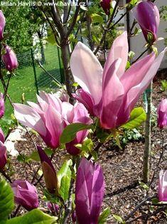 """Magnolia liliiflora """"NIGRA"""" (-29) 1-2m"""