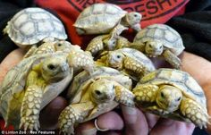 Few of the 45 babies given birth by a giant tortoise!