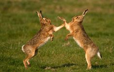 British hares