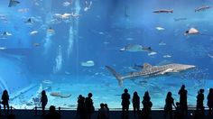 Kuroshio Sea - 2nd largest aquarium tank in the world, 7,500-cubic meters (1,981,290 gallons) of water and features the world's second largest acrylic glass panel. Whale sharks and manta rays are kept amongst many other fish species in the main tank. (song is Please don't go by Barcelona). Video by Jon Rawlinson.