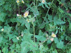 mléč zelinný (Sonchus oleraceus)