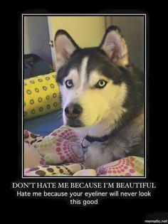 I feel like that husky looks more like boy than a girl but it's still funny. - Funny Dog Quotes - I feel like that husky looks more like boy than a girl but it's still funny. The post I feel like that husky looks more like boy than a girl but it's sti Husky Humor, Funny Husky Meme, Dog Quotes Funny, Funny Animal Memes, Dog Memes, Cute Funny Animals, Funny Dogs, Funny Memes, Hilarious