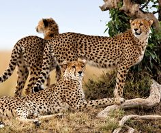 A group of cheetahs! Chester, is that you?