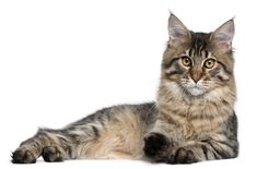 Maine Coons are attentive enough to be almost intrusive at times. Learn more about this cat breed here: http://www.petguide.com/breeds/cat/maine-coon/