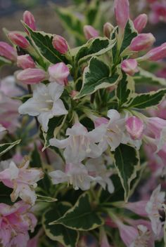 Shrub  WF  WEIGELA florida 'Variegata'